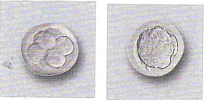 Sviluppo dell'embrione fino allo stadio di blastocisti