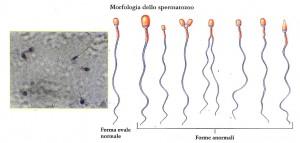 morfologia degli spermatozoi