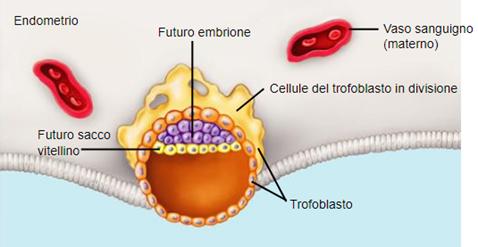 Impianto embrionario